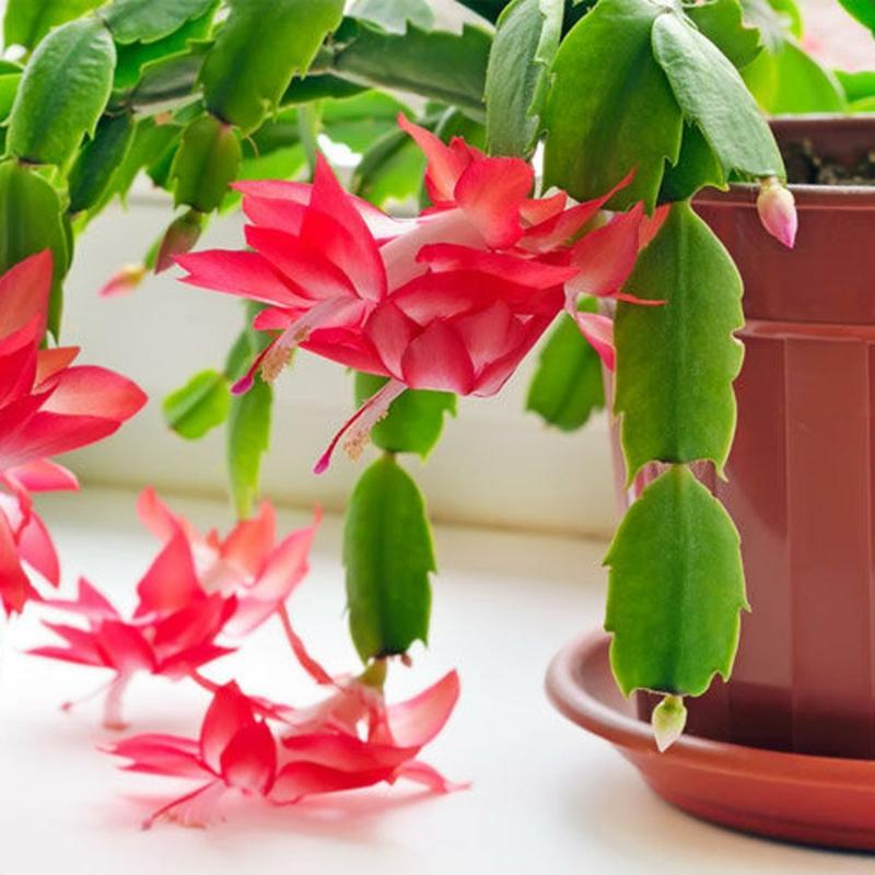 Blüten Weihnachtskaktus sehr schön