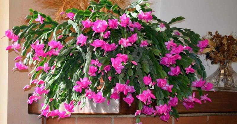 Weihnachtskaktus rosa Blüten